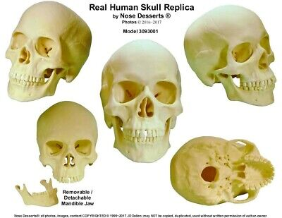 Human Anatomy Skull: Life Size Replica Skull #3093001: High Quality - from USA