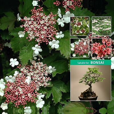 "VIBURNUM SARGENTII ""Hiro"" seeds. Flowering shrub small tree, great Autumn colour"