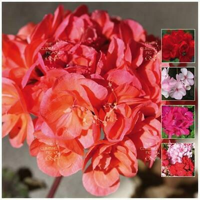 "x5 seed pack: GERANIUM ""Pluto™ Hybrids Mix"" Seeds. Heavy flowering perennial."