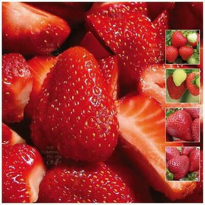 STRAWBERRY Sweet Temptation x20 seeds. Heavy yield. Modern sweetheart variety
