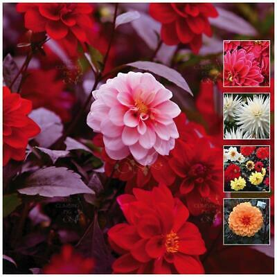 "DAHLIA ""A Night of Colour"" seeds 