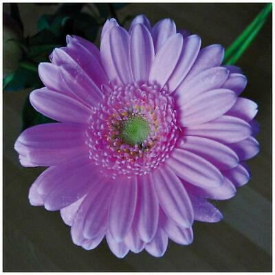 Gerbera Flori Line® Maxi Lilac Seeds. Ultra-Hyrbid, commercial variety.