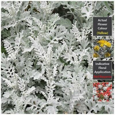 """CINERARIA """"Silver Dust"""" seeds. Compact perennial ground cover 