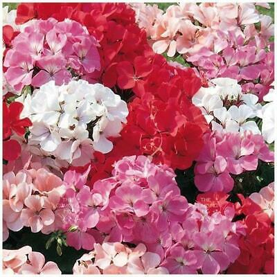 "GERANIUM ""Ringo™ Hybrids Mix"" Seeds. Heavy flowering perennial. Premium Mix."