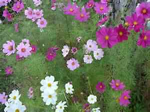 """Cosmos """"mixed"""" (50 Seeds)"""