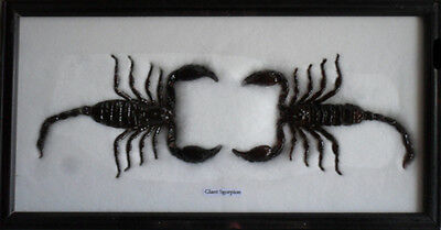 REAL BEAUTIFUL SCORPION Collection Framed /IS02