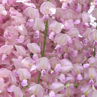 12 Pink Wisteria Seeds - Uk Stock - Rare - Quick Dispatch *best On Ebay* Climber