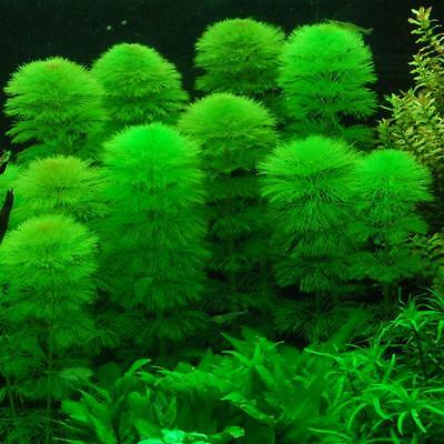 5 CABOMBA Aquatica, Live Aquarium Aquatic Tropical Plant Fish Tank