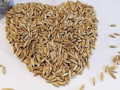 50g Organic Oat Avena Sativa Seeds Oatgrass Kitten Cat Grass Pet Grass Cat Treat