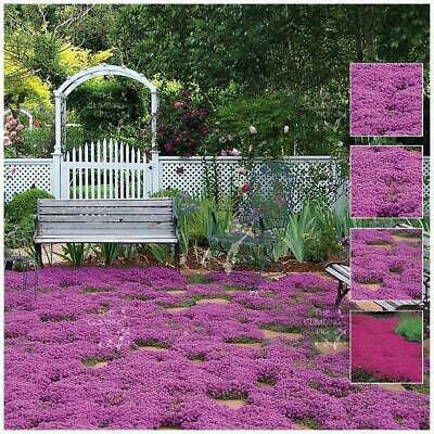 "250 SEEDS CREEPING THYME ""PURPLE RAIN™"". Flowering garden herb lawn cover."