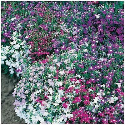 "LOBELIA ""String of Pearls"" Seeds. Mix of pink, purple, mauve and white flowers!"