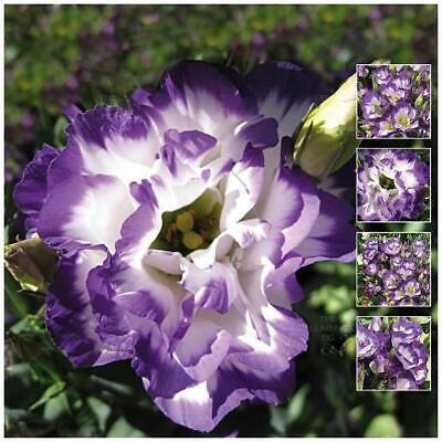 "LISIANTHUS ""Touch of Midnight™"" pelletised seeds. Modern cut flower variety."