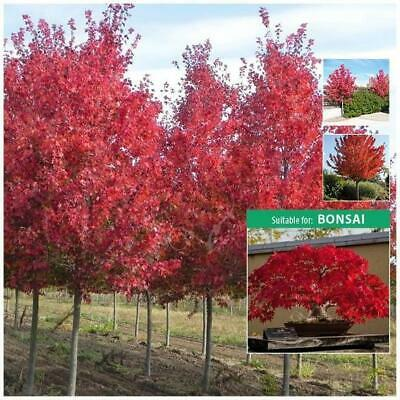 """ACER RUBRUM """"Red Maple"""" seeds. Stunning ornamental tree. Suitable for Bonsai."""
