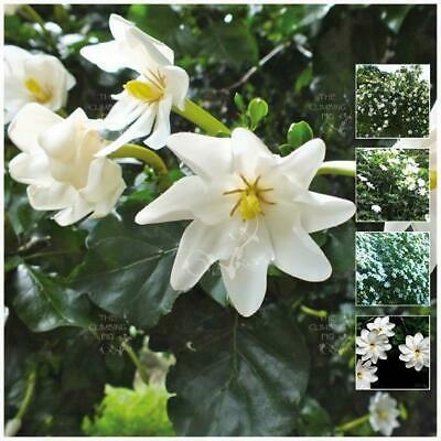 "GARDENIA THUNBERGIA ""White Gardenia"" seeds. Extremely Fragrant flowering shrub."