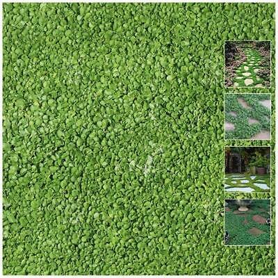 "DICHONDRA REPENS ""PolyGreen™"" seeds. Landscaping groundcover. Turf replacement."