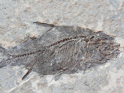 Top quality jianhan-fish fossil from HUBEI(Eocene)