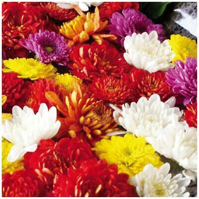"""Chrysanthemum """"Hera™ Double Mix"""" seeds 