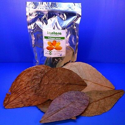 50pc Catappa Leaves 18~31cm Grd A Indian Almond Leaf Ketapang Betta/Discus CRS