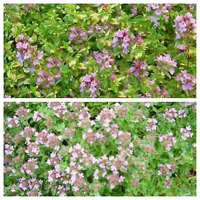 Walk on Me Plant Ground cover plant  1-live  plant  Rosy pink flowers
