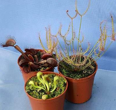 3 CARNIVOROUS PLANTS COLLECTION:Red Venus flytrap,Darlingtonia cobra lily,Sundew