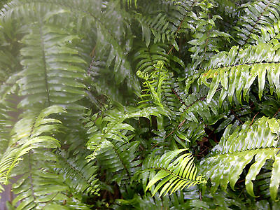 Boston Fern, Live Plant