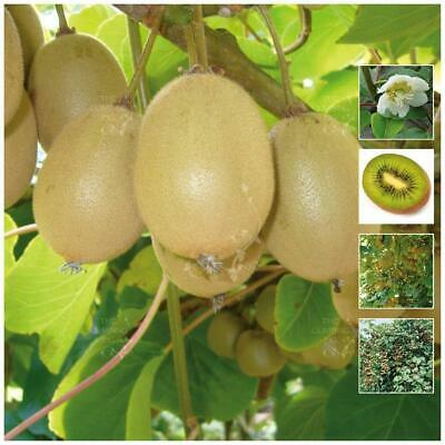 "ACTINIDIA Hayward ""Kiwi Fruit (gooseberry)"" seeds. Heavy yielding kiwifruit."