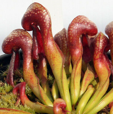 DARLINGTONIA CALIFORNICA (Siuslaw NF,Or)red Cobra Lily carnivorous pitcher plant