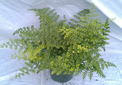 Austral Gem Fern plant in 6 inch pot - Aspelnium Birds Nest - Very Nice Size