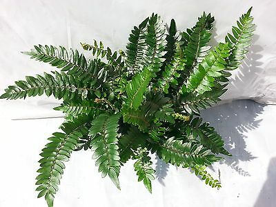 Pellaea Falcata Fern plant in 6 inch pot - Sickle Fern