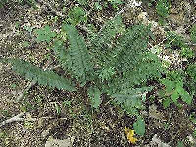 15 Christmas Fern Plants, Evergreens,Starter Plants , Zones 3 to 9 , Beautiful