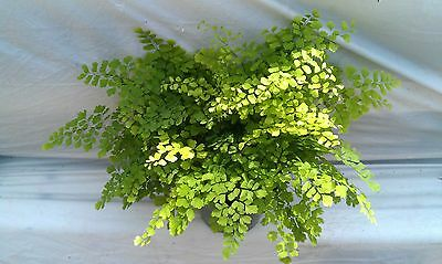Maiden Hair Fern plant in 6 inch pot