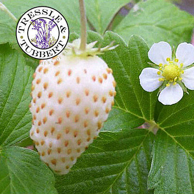 Rare and unusual white strawberry - 15 seeds - UK SELLER
