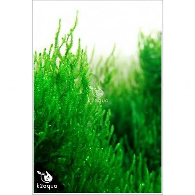 Moss - 44 varieties of aquatic moss Live Aquarium Plants for Shrimp Tank