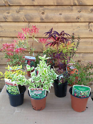 10 Mixed Shrubs - in Pots - Great Value - Easy to Grow (not small plug plants)