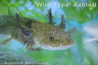 Pollywog Axolotl & Clawed Frog Food. Sinking pellets suitable for Axolotls Newts