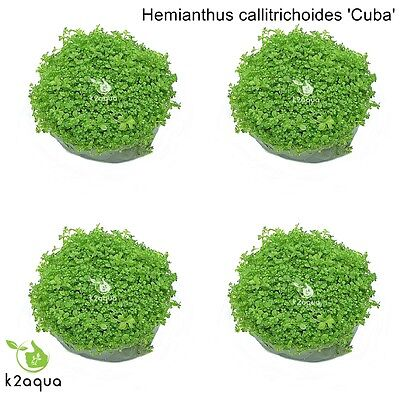 Hemianthus Callitrichoides (x4) Cuba HC In Vitro Live Carpet Aquarium Plants Co2