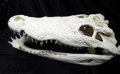 """REAL FRESHWATER CROCODILE SKULL BIG HEAD TAXIDERMY COLLECTIBLE CITES SIZE 13"""" A+"""