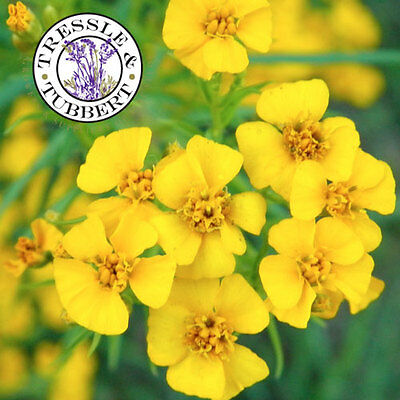 Rare Mexican mint Tagetes lucida Herb 20 seeds UK SELLER