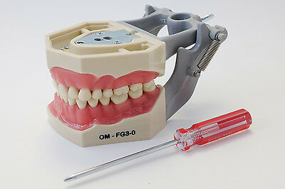 Dental Anatomy Typodont Educational Model FG3 Removable Teeth NBDE NERB ADEX