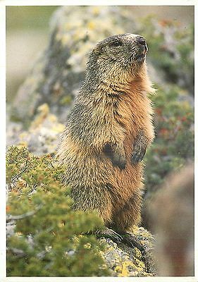 Cp Marmotte