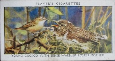 Single: No.7 YOUNG CUCKOO & SEDGE WARBLER FOSTERING - WILD BIRDS - Player 1932