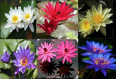 Yellow,Red,Blue White,Pink,Purple Water lily (nymphaea) 5 Live Seeds