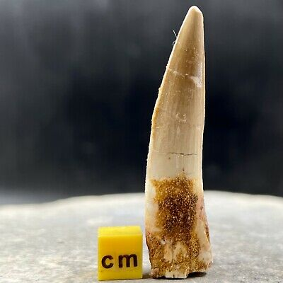 Genuine Spinosaurus Dinosaur Tooth Fossil from Morocco - Cretaceous Age - FSE087