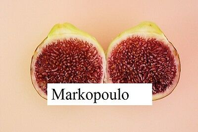 Markopoulo  fig tree- Greek variety- rare -5 cuttings