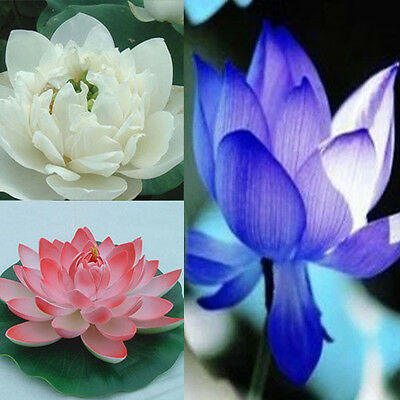 1Pack 10pcs Rare Lotus Seeds Water Lily Fragrance Aquatic Flowers Seeds Colorful