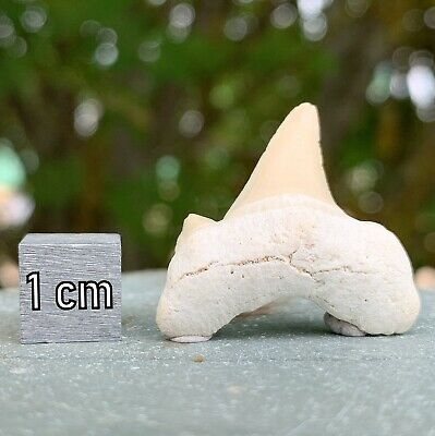 Genuine Shark [Lamna otodus] Tooth Fossil from Morocco - Eocene Period - FSE155