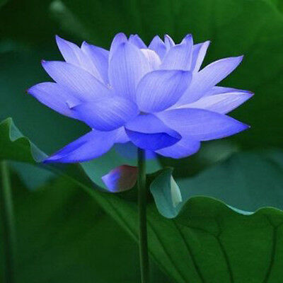 Bowl lotus/water lily flower /Bonsai Lotus / 5 Fresh seeds/Sapphire Lotus