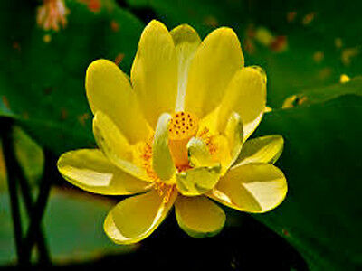 Bowl lotus/water lily flower /Bonsai Lotus / 5 Fresh seeds/Yellow color