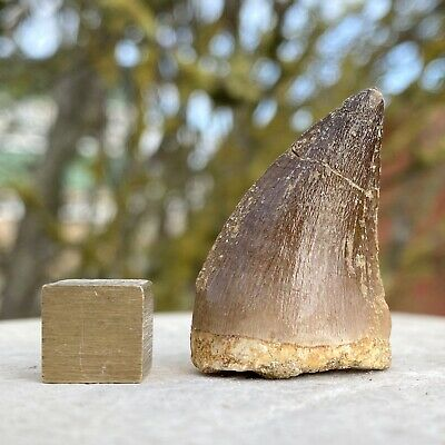 Mosasaur Reptile Tooth Fossil - Cretaceous Period - from Morocco - FSE247