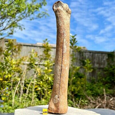 Deer Leg Bone Fossil from North Sea - ICE AGE - FSE331